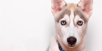 如何給哈士奇狗狗刷牙呢