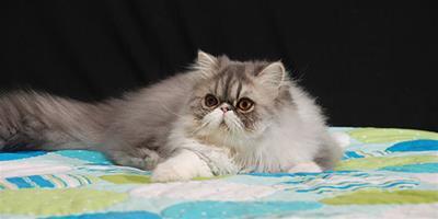 波斯貓家庭美容小竅門