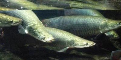 海象魚飼養方法