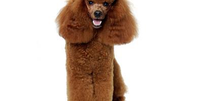 第一次給貴賓犬做美容要怎麼做