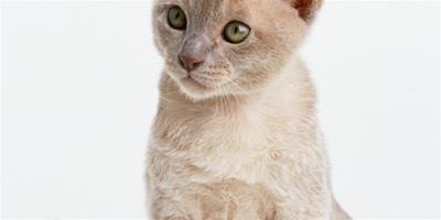 糾正曼島無尾貓的異常攝食行為
