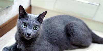 俄羅斯藍貓吃的是神馬?