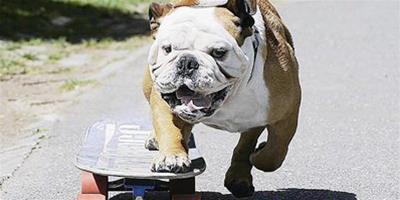 有模有樣的滑板狗狗