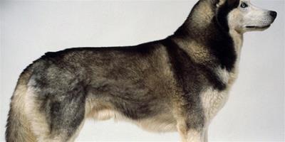怎麼教哈士奇雪橇犬銜取嗎