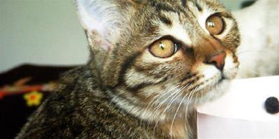 狸花貓吃什麼?狸花貓怎麼餵養