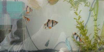 虎皮魚的餵養 虎皮魚喜食魚蟲等活飼料