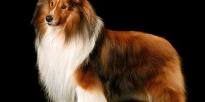選購蘇格蘭牧羊犬十二法則