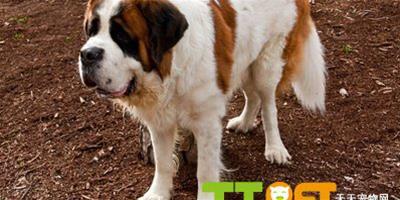 聖伯納犬怎麼訓練?有什麼方法技巧?