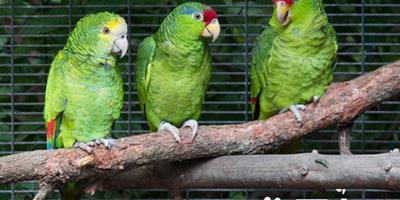 綠頰亞馬遜鸚鵡的飼養 很快習慣和適應新主人