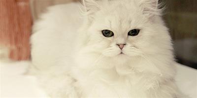 金吉拉貓是怎麼來的