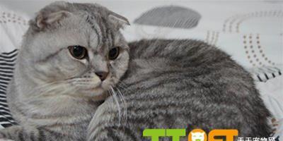 警惕蘇格蘭折耳貓常見皮膚病