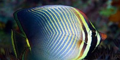 印度洋天皇蝶的餵食要點 以珊瑚蟲為食