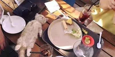 喵星人在餐桌上吃著吃著就睡著了,萌翻眾人