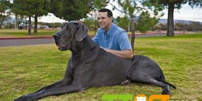 大丹犬能長多大?平均身高體重多少?