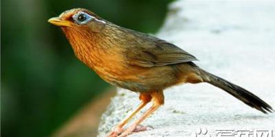 畫眉鳥仰頭怎麼辦 應該把鳥掛在家裡安靜的地方