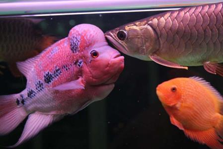 羅漢能和龍魚一樣養嗎注意混養密...