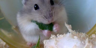 怎麼養倉鼠才不會死 養倉鼠需要注意地方