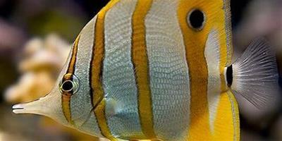 鐵嘴魚飼養環境 每天光照時間為8-10小時