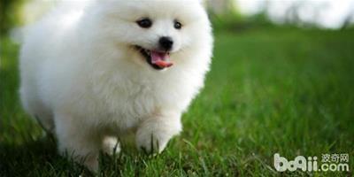 博美犬洗澡應注意四個事項 餵養博美犬