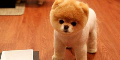 博美犬飼養技巧公開 餵養最可愛的狗狗