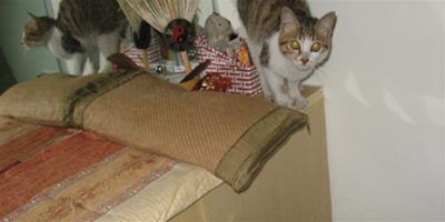 貓咪總是上桌子該怎麼辦