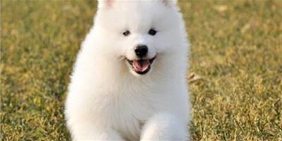 薩摩耶吃什麼狗糧好 雜食性的狗狗