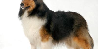紐芬蘭犬粘人程度 紐芬蘭犬天性非常粘人