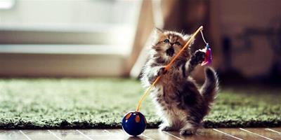 伯曼貓怎麼護理?伯曼貓毛髮和眼睛耳部護理要點