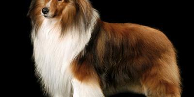 紐芬蘭犬智商高嗎 還是非常聰明的狗狗
