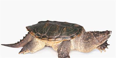 馬來閉殼龜的生活環境與習性