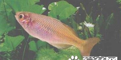 愛琴魚的飼養 愛琴魚最適宜溫度為24~28℃