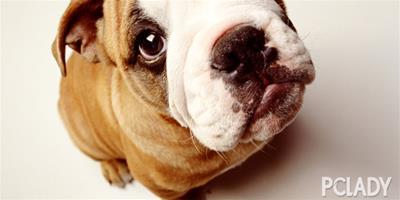 英國鬥牛犬的起源及飼養須知