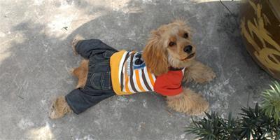 美國可卡犬的壽命大概多久