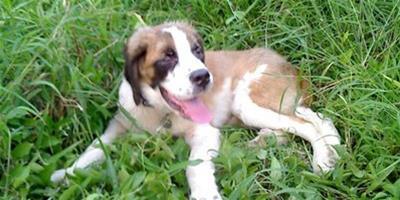 聖伯納犬大小便怎麼訓練?