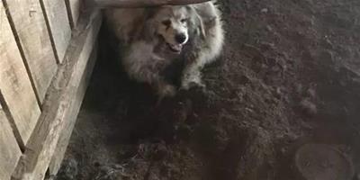 當人們看到它時還以為是一只綿羊,等它轉頭後才驚覺,我靠,這是只狗啊!
