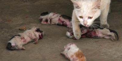 小貓被人虐待致死,母貓一個個舔舐自己的孩子,希望它們能活過來
