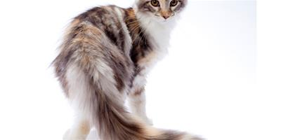 緬甸貓有哪些種類