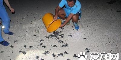 143只綠蠵龜幼龜深夜迷路 軍民用水桶護送回大海