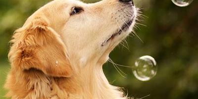 揭曉寵物犬分泌淚痕過多的原因