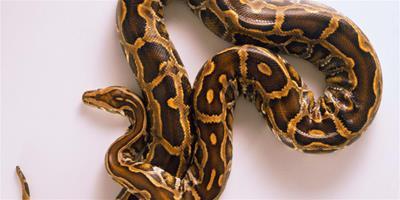 球蟒生長速度 每條蛇的生長速度各有不同