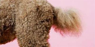 狗狗尾巴下垂是怎麼回事