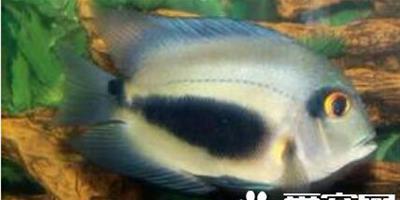 濺水魚的餵食要點 他是雜食性的觀賞魚