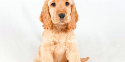 挑選細節知識 詳細描述可卡犬的身體特