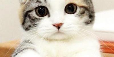 如何預防蘇格蘭折耳貓皮膚病?折耳貓得了皮膚病怎麼辦