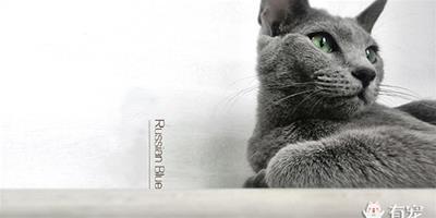 靦腆的俄羅斯藍貓神馬時候會叫?