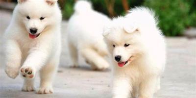 應該怎麼飼養薩摩耶犬