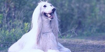 讓阿富汗獵犬更漂亮更健康