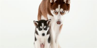 哈士奇幼犬的護理有四點