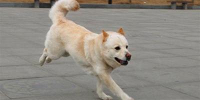 幫助秋田犬減肥的方法
