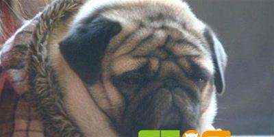 【巴哥犬價格參考】八哥犬大概多少錢?